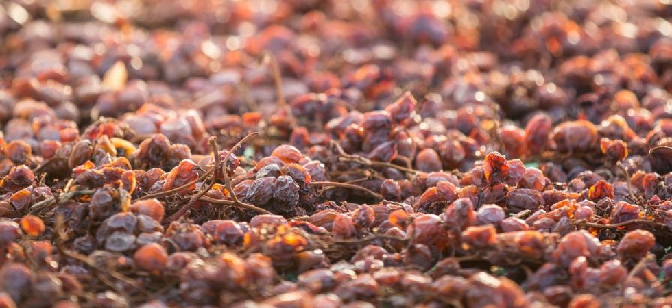 Appassimento di uva Zibibbo a Bukkuram