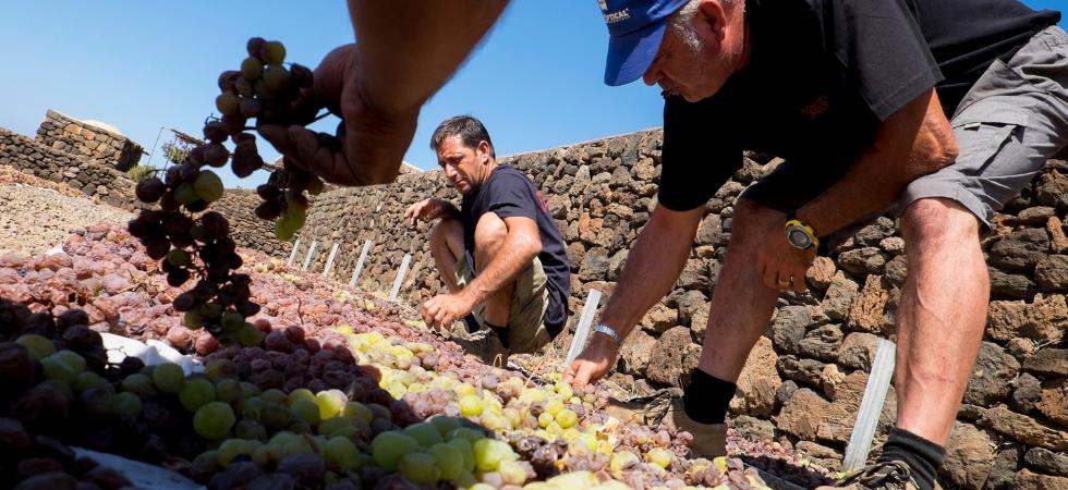 Appassimento dell'uva Zibibbo a Bukkuram, isola di Pantelleria